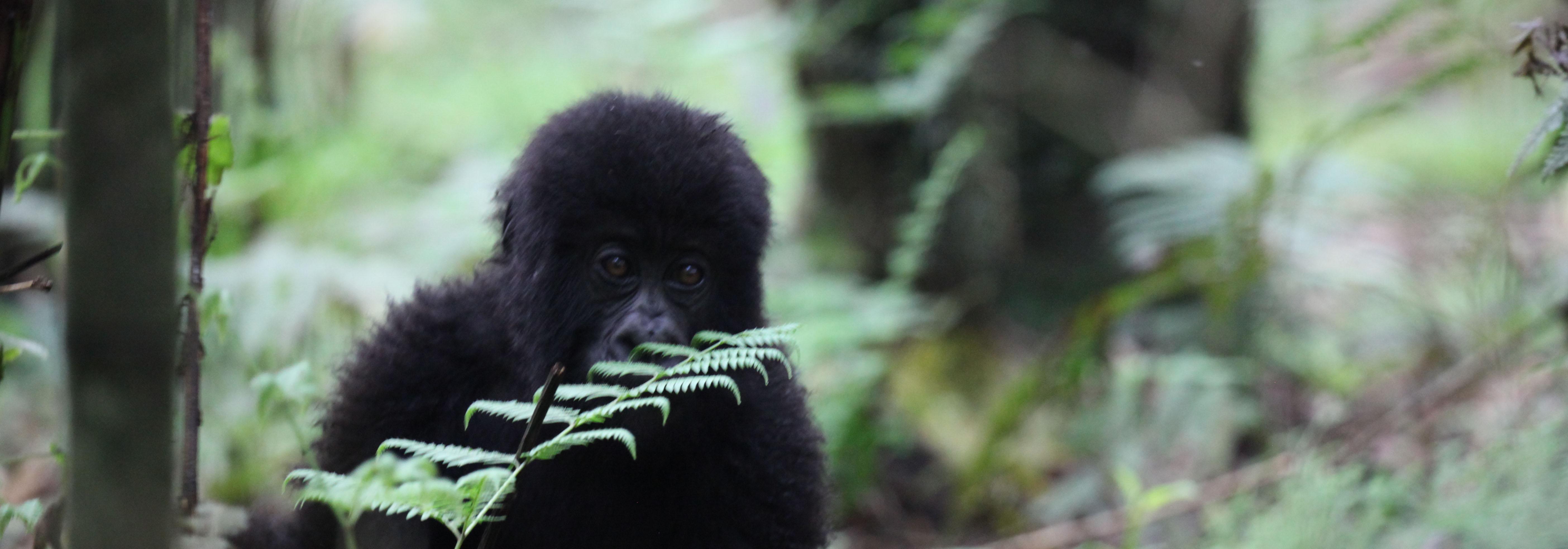 baby mountain gorilla rwanda