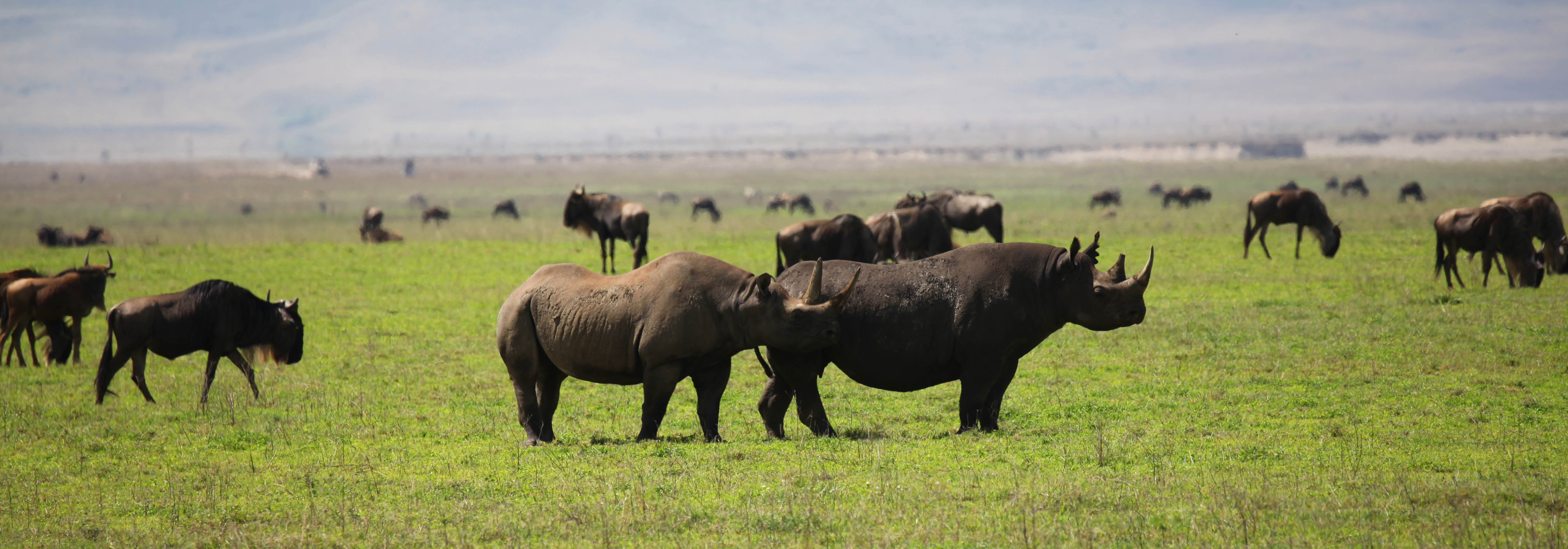 Black Rhinos in Tanzania's Ngorongoro Crater