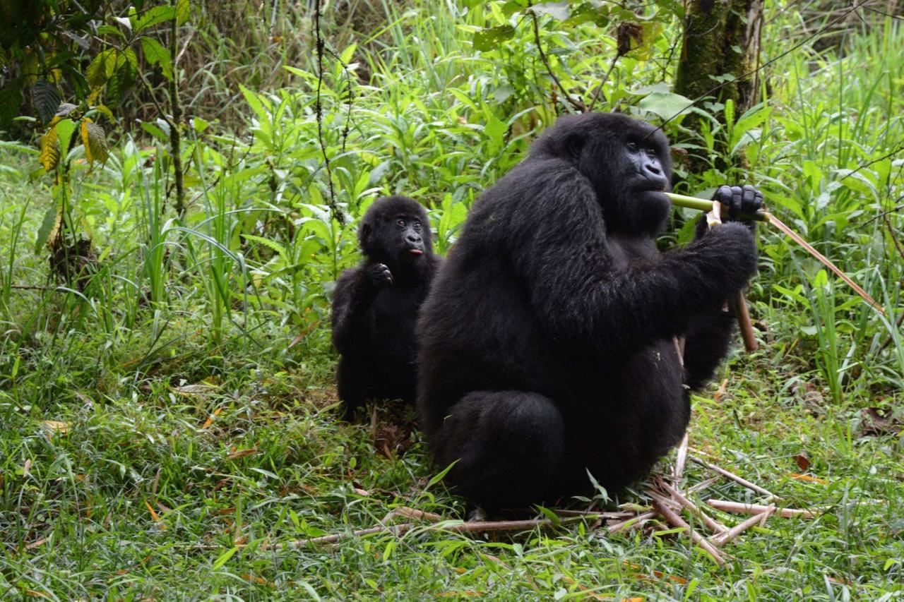 Chicago Tribune Mountain Gorilla Trek