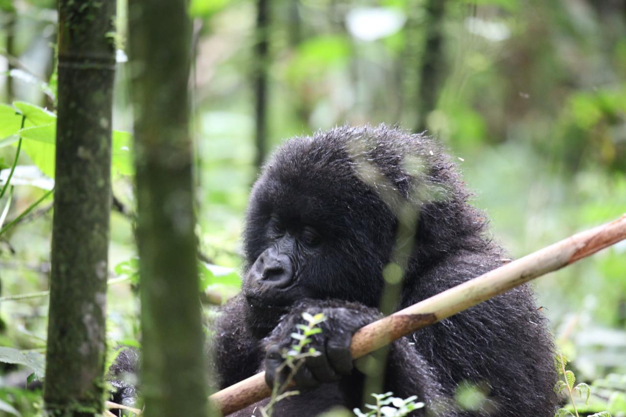 Mountain Gorilla Chicago Tribune