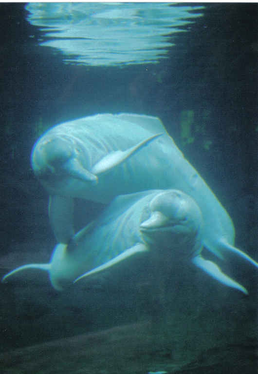 photos of pink river dolphins