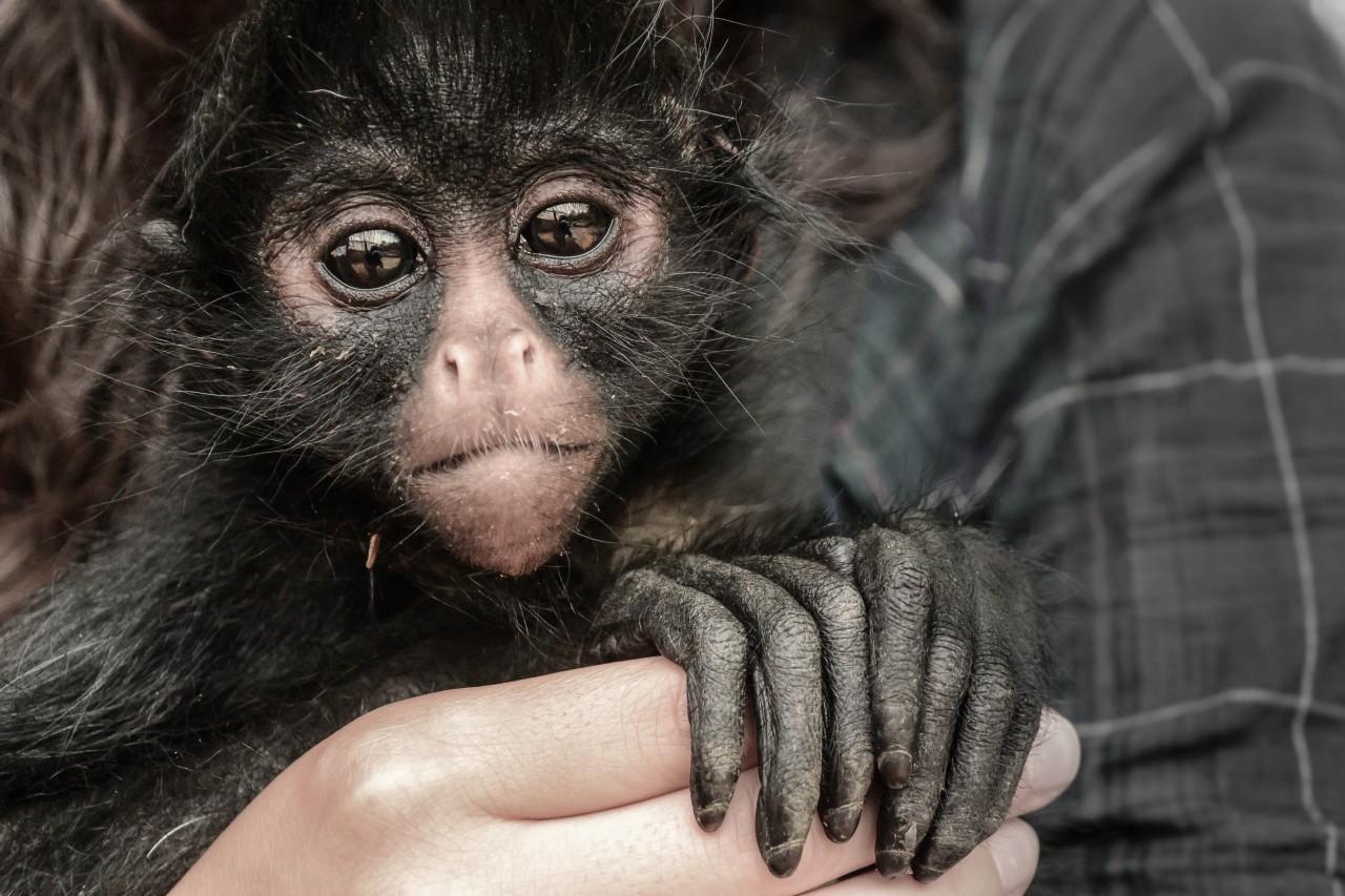 Howler Monkeys, Sloths & Marmosets