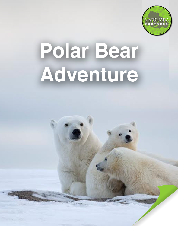 Polar Bear Adventure