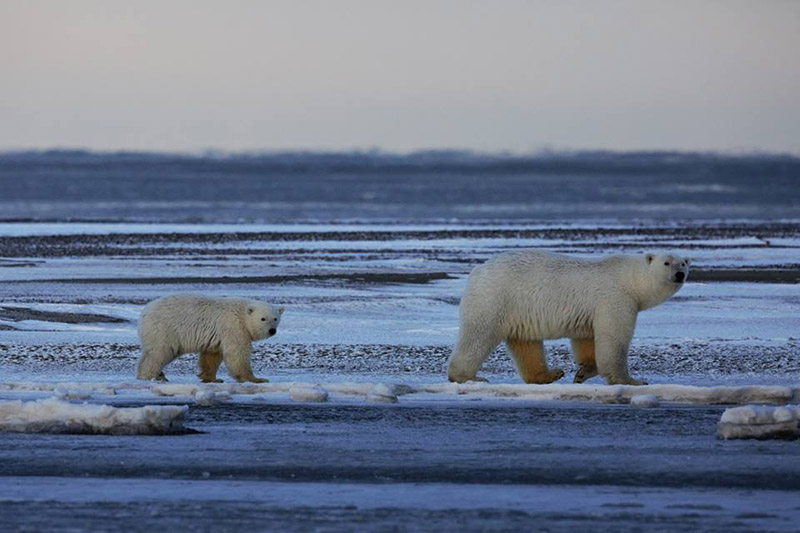 Two polar bears walking on ice in Alaska
