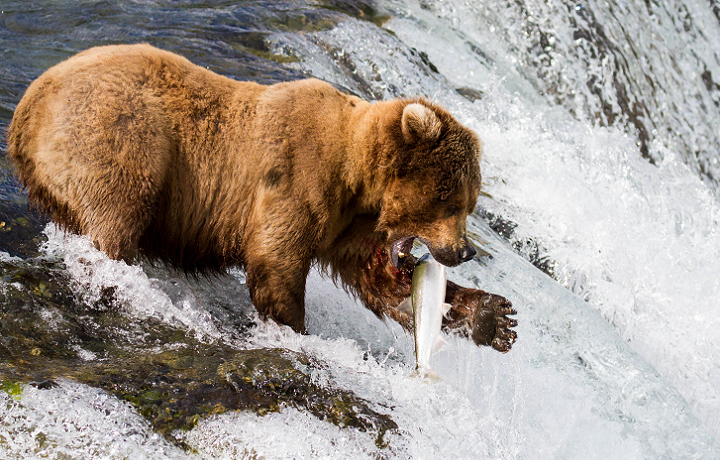 An Alaska Grizzly bear catching salmon in Brooks Falls