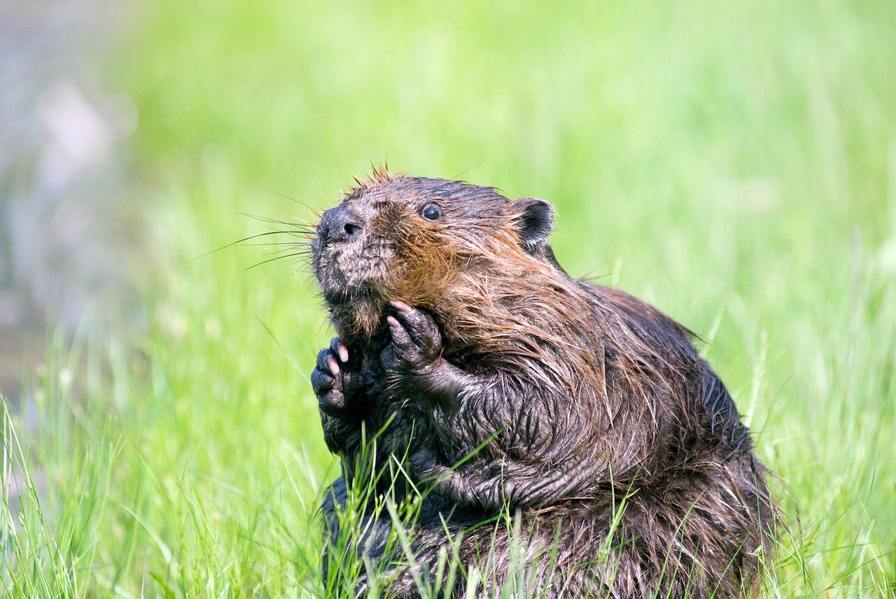 An Alaskan Beaver