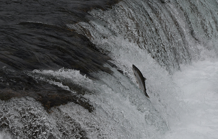 A salmon jumping a river in Alaska