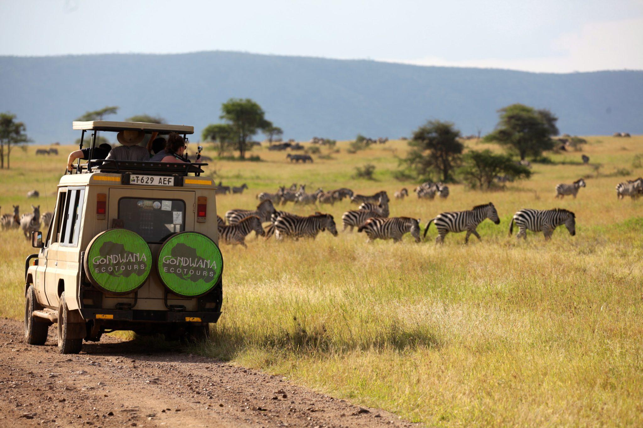 Game drive views zebras in serengeti