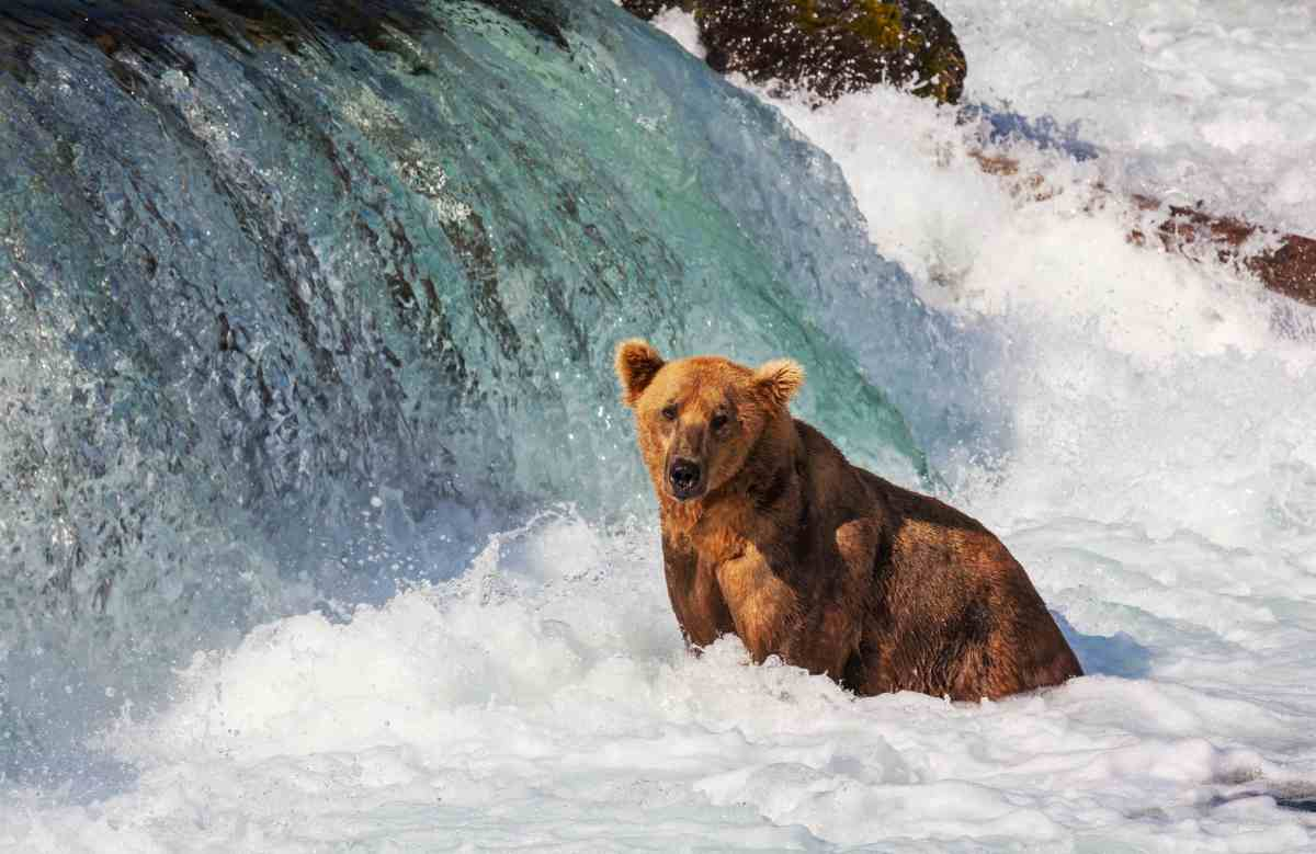 Grizzly Bears of Katmai National Park