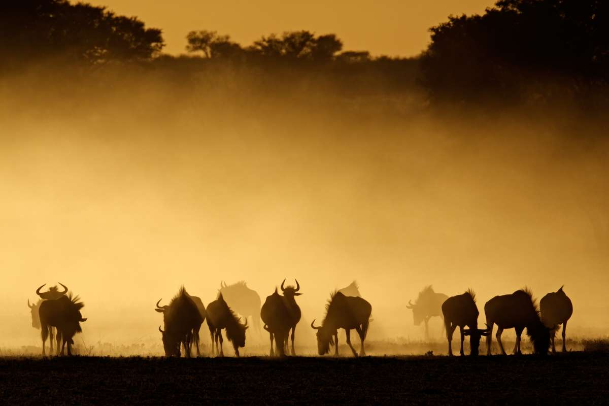 Wildebeest at Dusk from Tanzinia Camping Safari