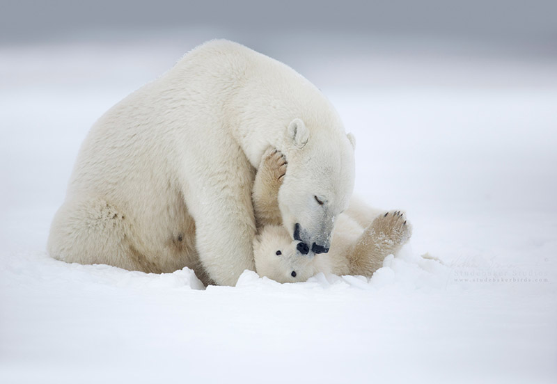 Mother polar bear cleans her cub