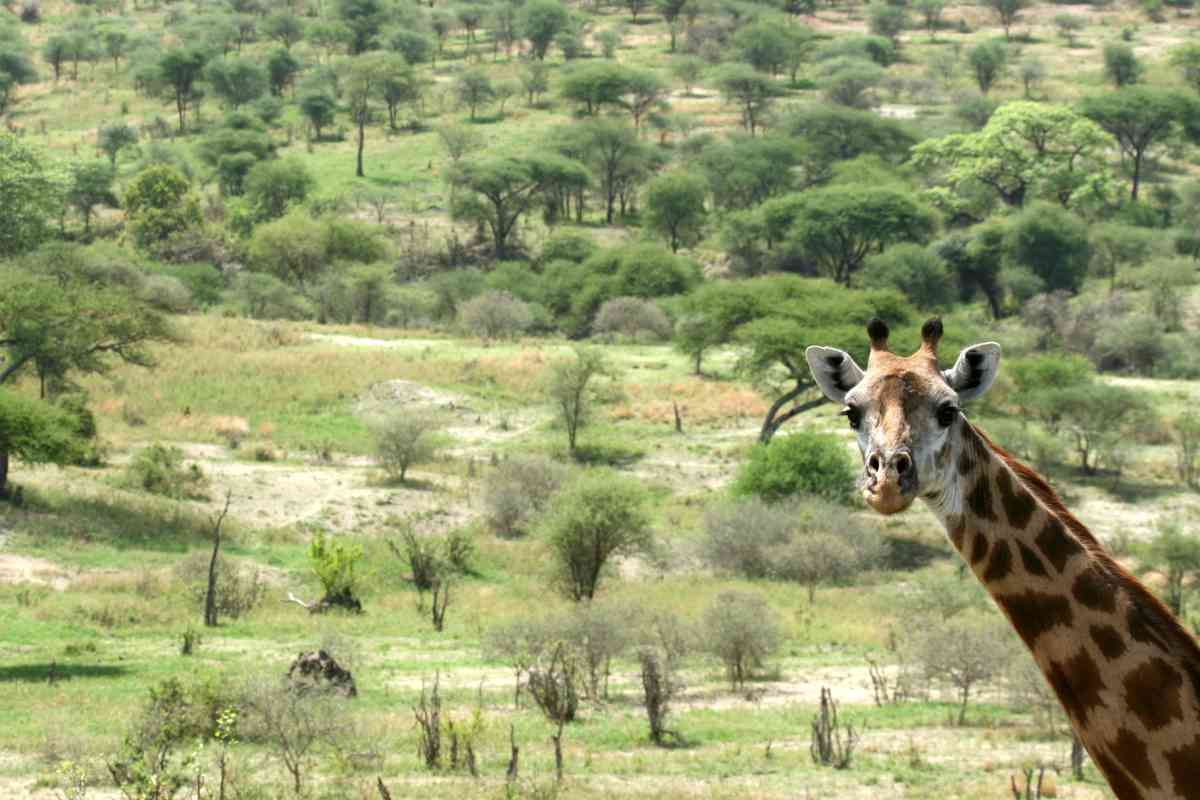 Giraffe looking out over the Serengeti in Tanzania's Top 5 National Parks