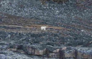 Solitary Polar Bear