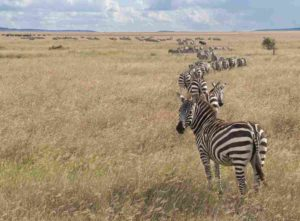 Herd of Zebra in Serengeti National Park