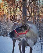 Hiking with friendly reindeer through the boreal forest on the Northern Lights Adventure