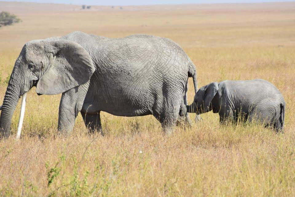 Elephants in the Serengeti on Gondwana Ecotour's Great Migration Camping Safari