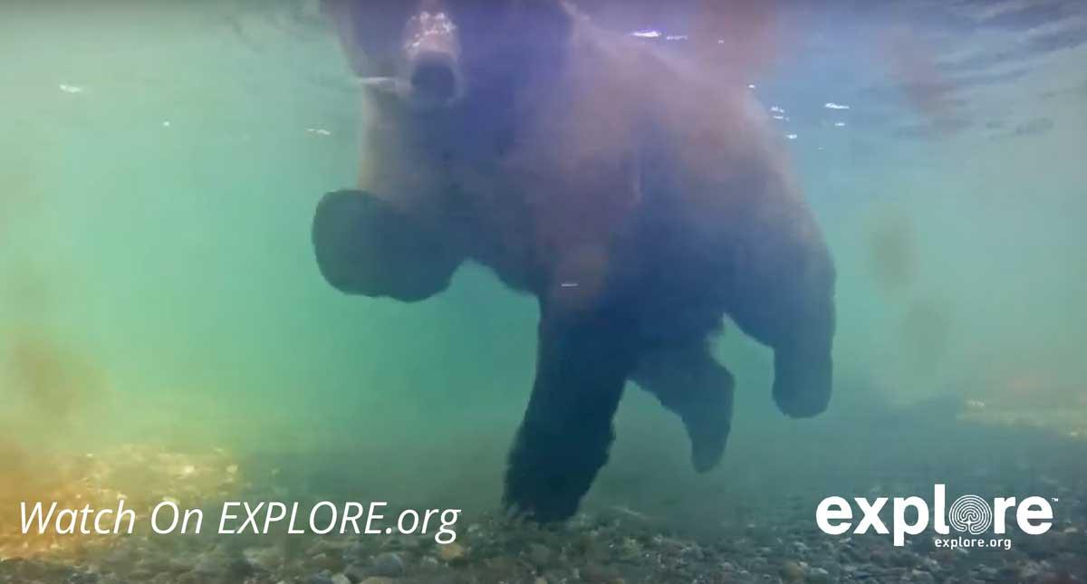 underwater bear cam alaska