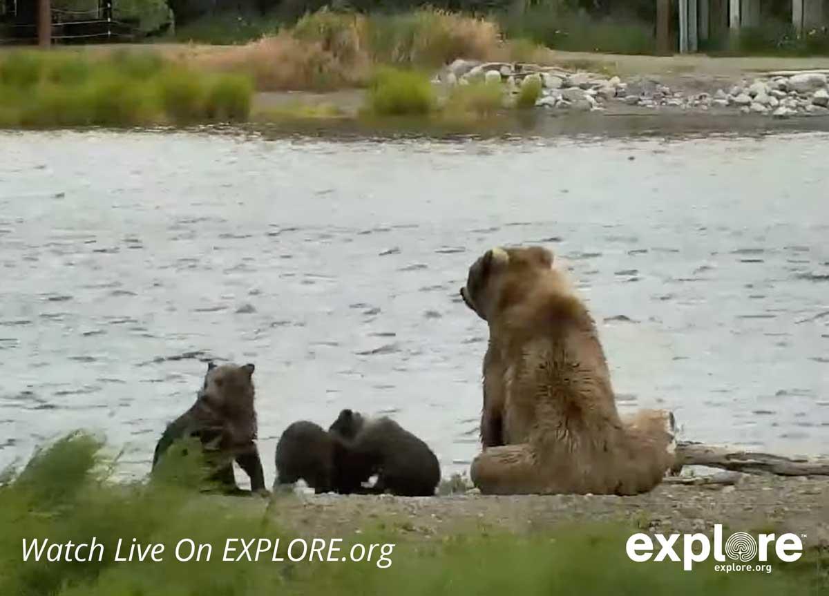 watch bear cam alaska