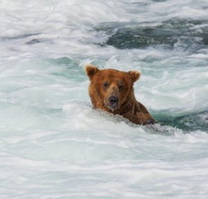 Grizzly bear searching for salmon in an Alaskan river.