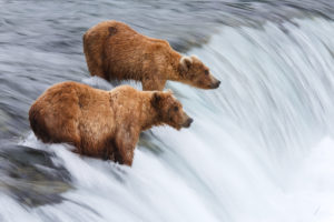 A picture of Grizzly Bears fishing for salmon in Brooks Falls, Alaska.