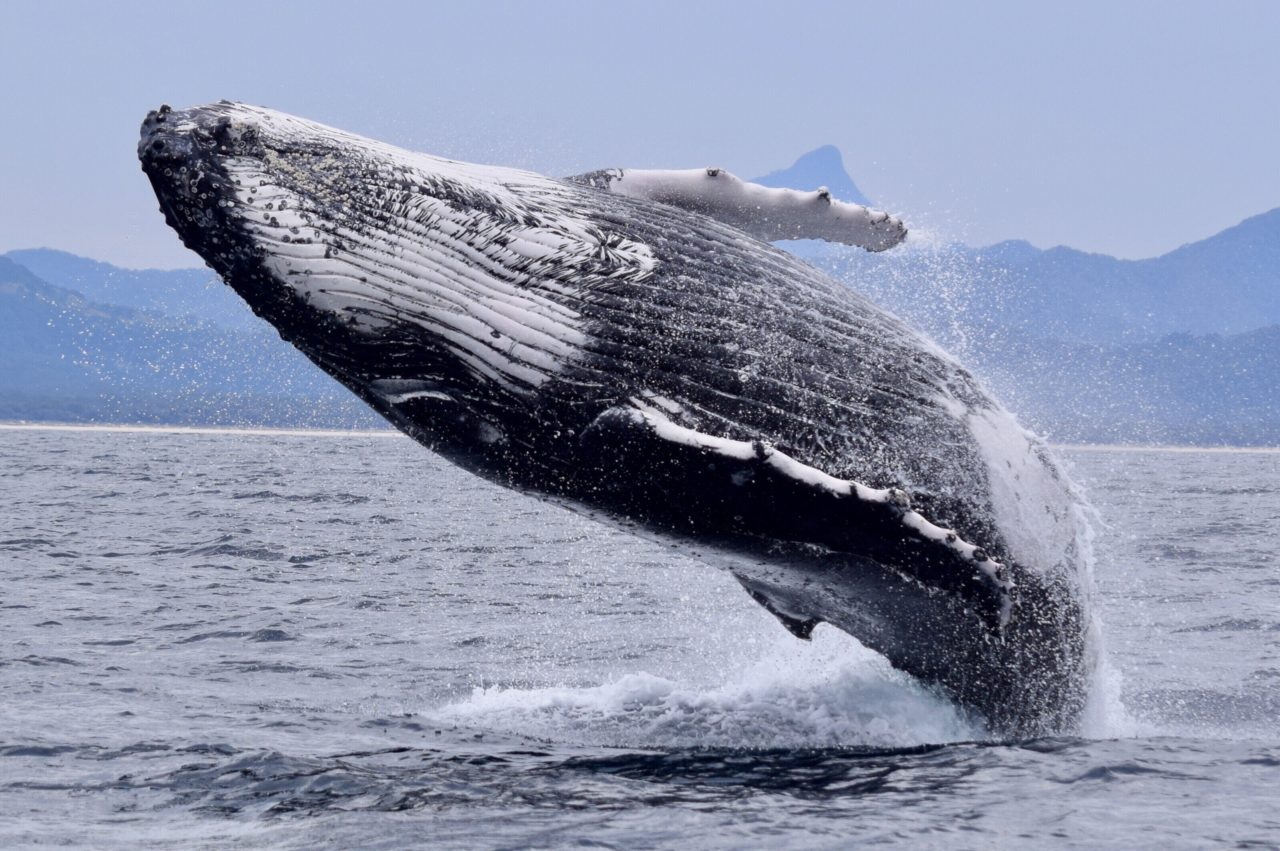 Picture of a breaching humpback whale off the coast of Alaska.