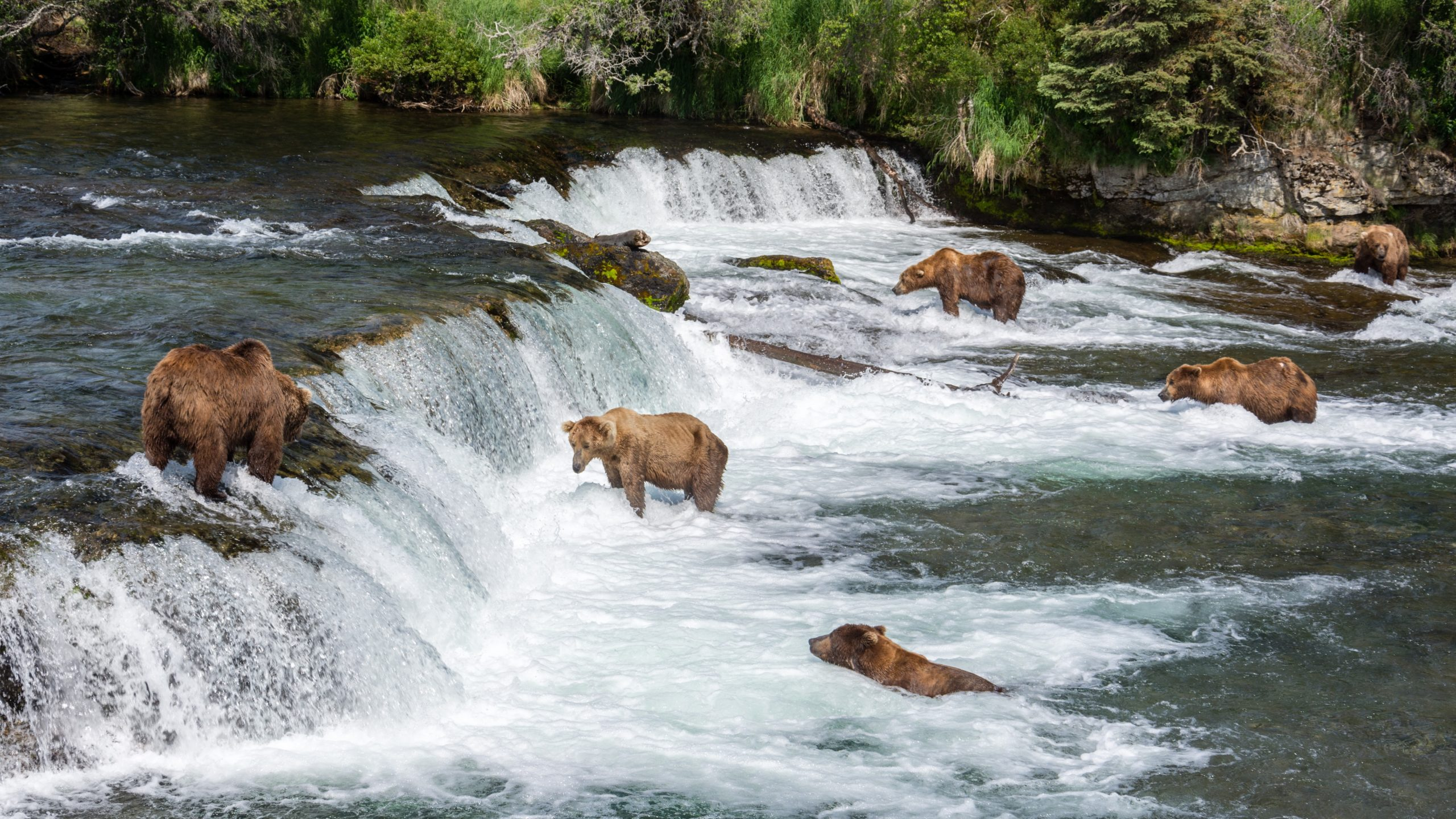 Grizzly Brown Bears in a river feeding on salmon at Brooks Falls, Katmai National Park, Alaska