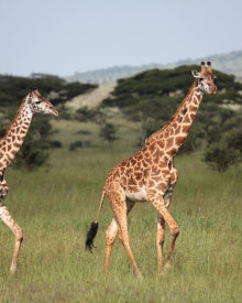 No shortage of Giraffes in Tanzania!