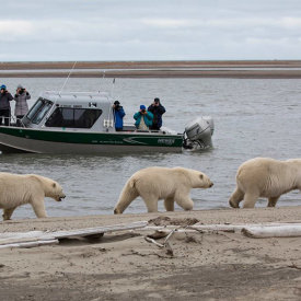 Viewing Polar Bears from a Heated Boat