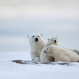 A Polar Bear Family