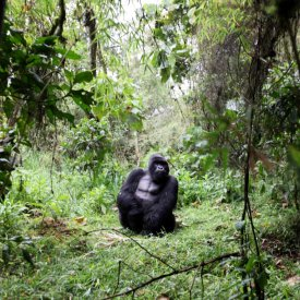 A silverback poses for visitors