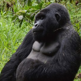 Silverback gorillas are surprisingly contemplative and peaceful!