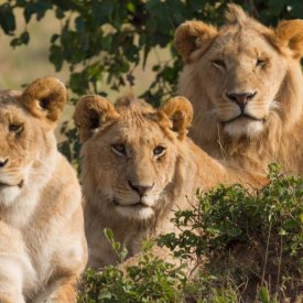 Lions Family Portrait