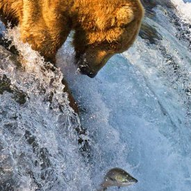 A Grizzly Bear Fishing at Brooks Falls