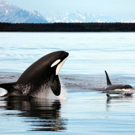 Orcas are a common sighting.