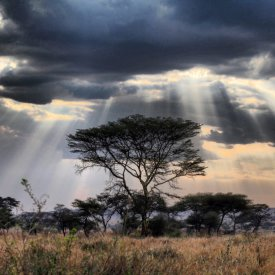 Acacia Tree in Serengeti National Park
