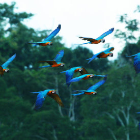 Macaws flying near Kapawi Ecolodge
