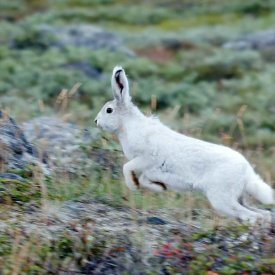 An arctic hare in the early fall