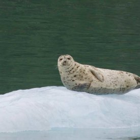 A Harbor Seal in Alaska