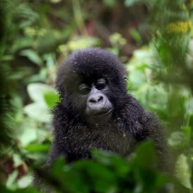 A baby gorilla seen in Volcanoes National Park