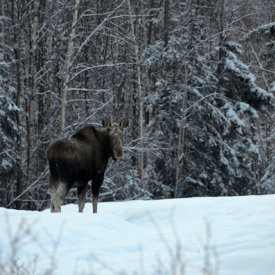 Spot Moose Around Town and at the Lodge