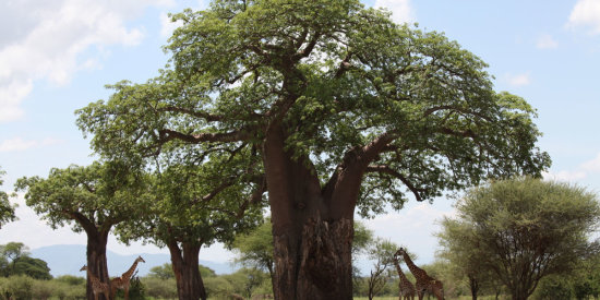 Giraffes under a baobab tree in Tarangire National Park