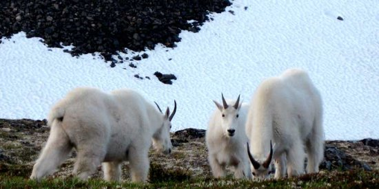 Mountain goats in between Anchorage and Seward Alaska